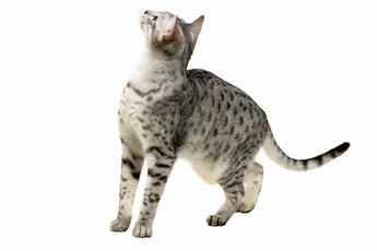 Types of Shorthair Gray Cats