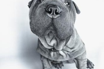 Shar-peis are low maintenance dogs and require minimal grooming.