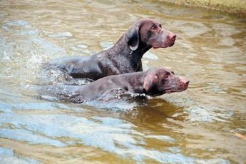 Some dogs are water-resistant.