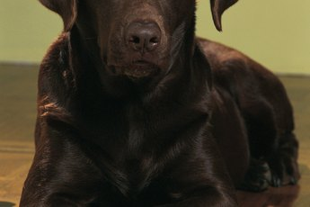 Does a Chocolate Labrador Have White Hair?