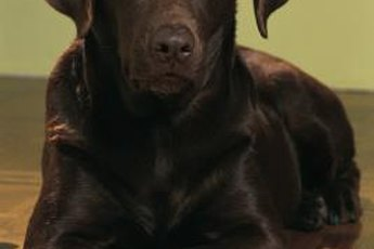 "A chocolate Labrador retriever is typically ""all chocolate."""