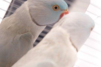Giving a Parakeet a Mirror