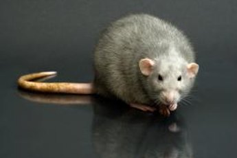 Rat poison can be fatal for dogs and cats.