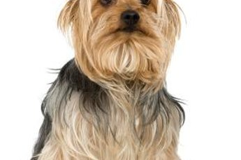 Dry skin can be a problem for some silky terriers.