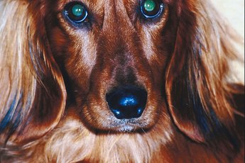 Longhaired Dachshund Fur Care