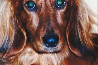 A truly lustrous longhaired dachshund coat requires regular grooming and maintenance.