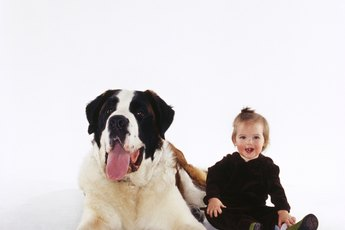 Weird & Fun Facts About Saint Bernards