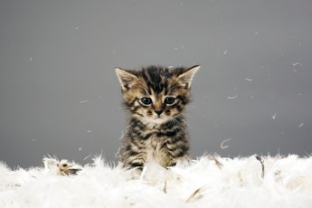 What Are the Causes of Seizures in Kittens?