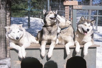 About Siberian Husky Dogs