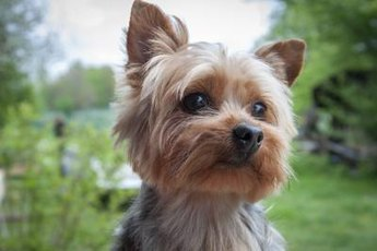 Yorkies have a distinctive appearance when compared to other small dog breeds.