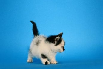 A kitten with his tail held high is happy and confident.
