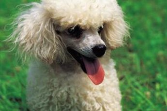 Poodle fur requires regular brushing to prevent matting.