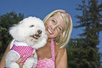 Bichon frise puppies are known for their stubborn but loving behavior as pets.