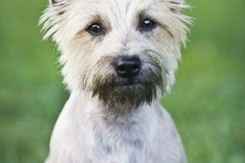 Cairn Terrier Dog Grooming Tips