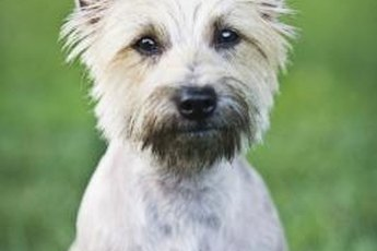 Positive reinforcement can help your Cairn terrier learn to come.