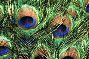 Peacock feathers supply hours of safe fun for you and your kitty.
