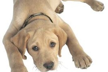 Puppy coats are eventually replaced by adult fur.