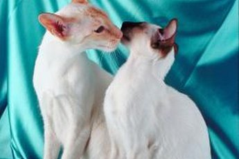 Balinese and Siamese cats look nearly identical, save the former's long hair. These are both Siamese cats.