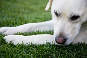 Phenobarbital for Seizures in Labradors