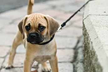How to Make a Puppy Stop Jumping, Biting & Pulling on Clothes When Walking