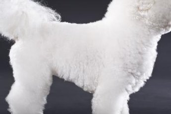 Your bichon's weight will help determine her caloric needs.