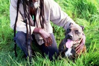 Pit bulls are a breed that bond very closely with their owners.