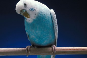 What Causes a Parakeet to Lose Feathers?