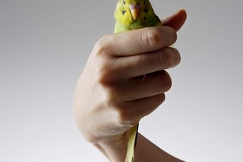 Why Is My Budgie Pecking Me?