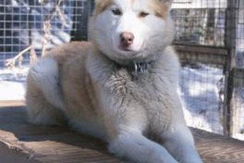 Huskies need regular grooming but not haircuts or shaving.