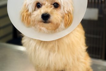How to Make an Elizabethan Collar for Dogs