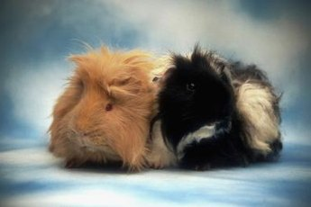 The best companion for a guinea pig is another guinea pig.