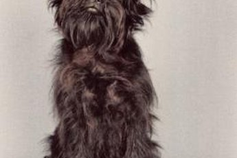 The adorable affenpinscher weighs between 7 and 9 pounds.