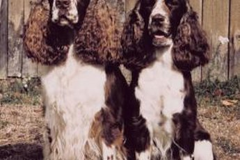 """These Springer Spaniels probably are from conformation or """"bench"""" lines, judging from the profuse feathering on their ears."""