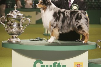 What Kind of Coat Does an Australian Shepherd Have?