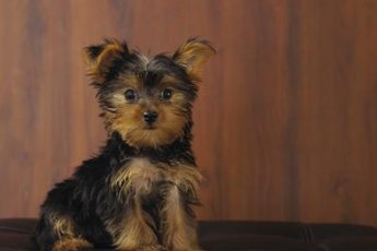 Yorkies with fluffy fur often sport shorter coats.