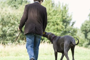 The Best Training Collar or Harness for a Great Dane Puppy