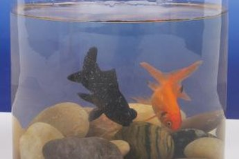 These fantail goldfish will need a much larger tank than this when they become parents.
