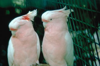 Why Do Birds Stop Squawking When You Cover the Cage?