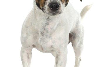 Hot Spots in Fox Terriers