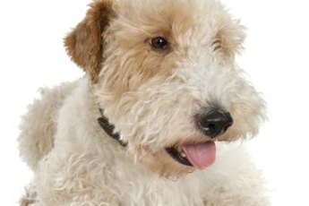 Wheaten terriers have distinctive fur tufts that cover their eyes.