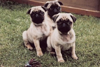 How to Care for Baby Pugs
