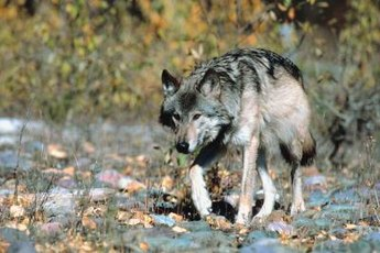 Dogs are descended from gray wolves.