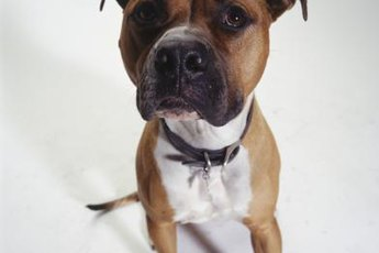 """""""AmStaff"""" is a loving abbreviation of the breed name."""