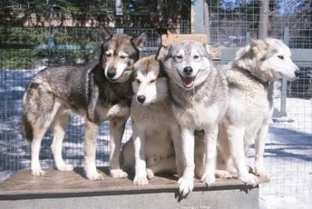 A large dog kennel can accommodate more than one pooch.