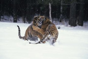 House cats behave like little tigers during combat, so be careful.