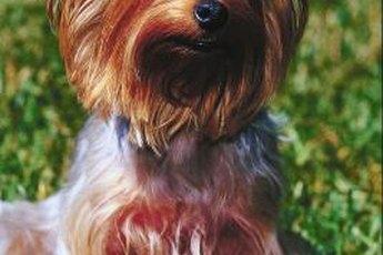Part Yorkshire terrier, part poodle, all adorable.