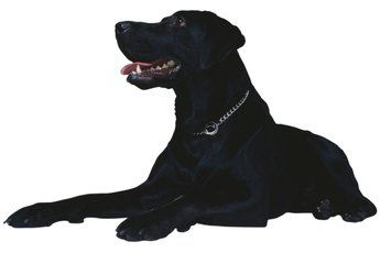 How Long Do Flat-Coated Retrievers Live?