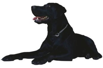 Large and energetic, Labrador retrievers are well-represented among Western Pennsylvania shelter dogs.