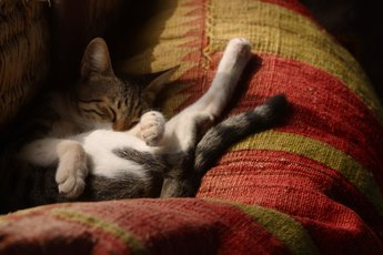 Do Cats Tune Out Noise in Their Sleep?
