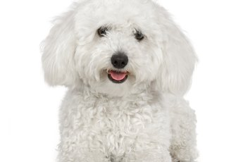 What Is the Difference Between a Toy Poodle & Bichon Dog?